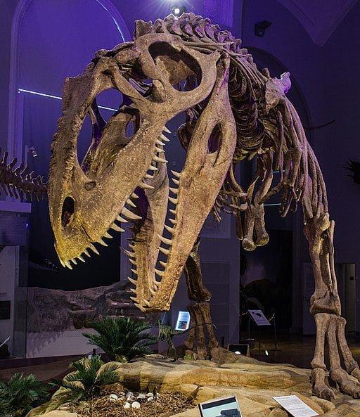 Giganotozaur szkielet