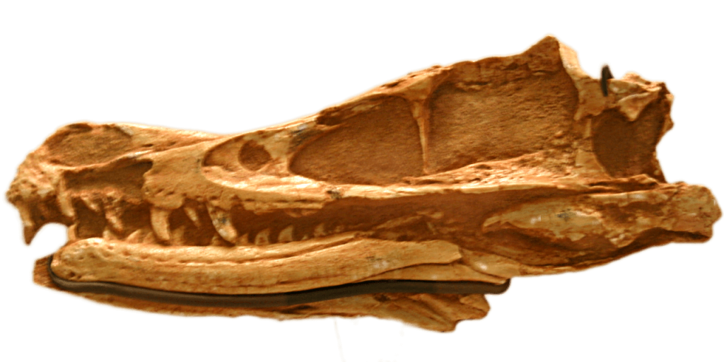 Welociraptor czaszka